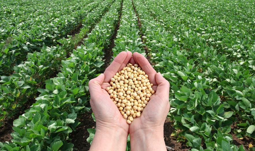 Soybead farm