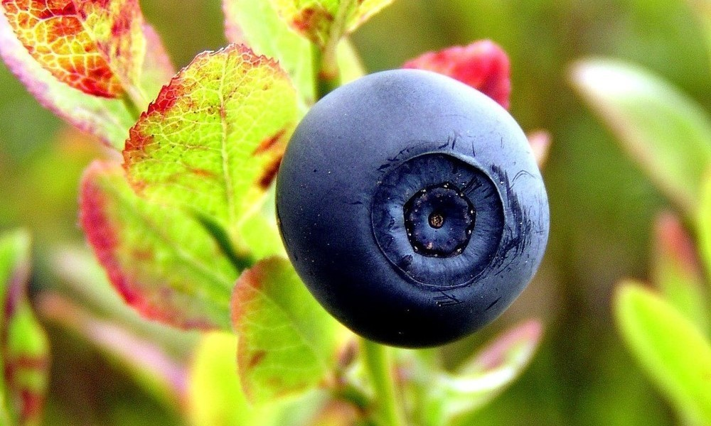 Norwegian blueberry superfood