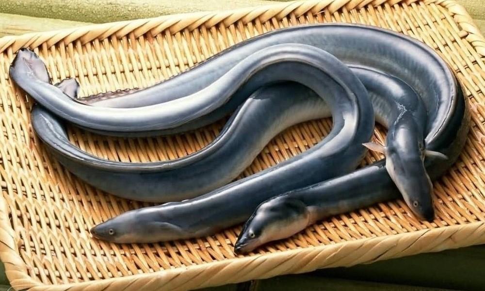 Japanese eels, unagi