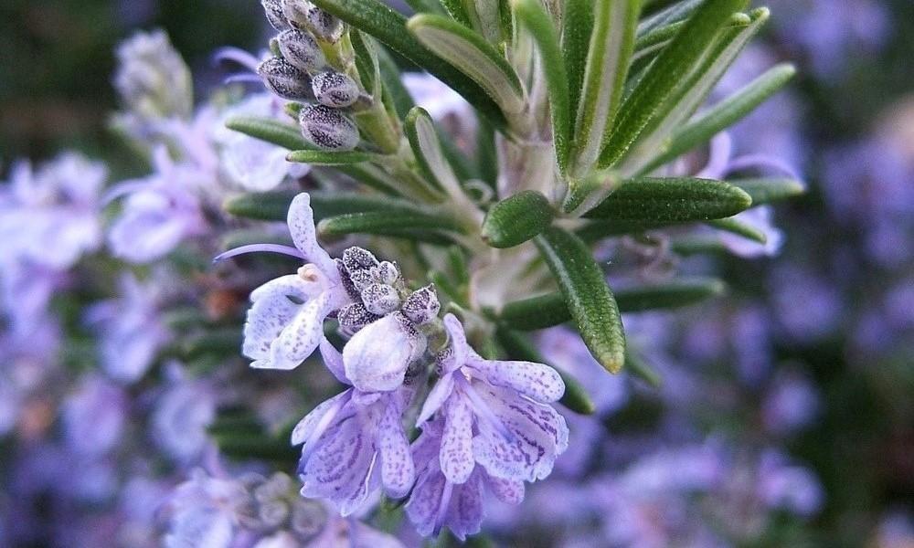 Rosemary Flowering