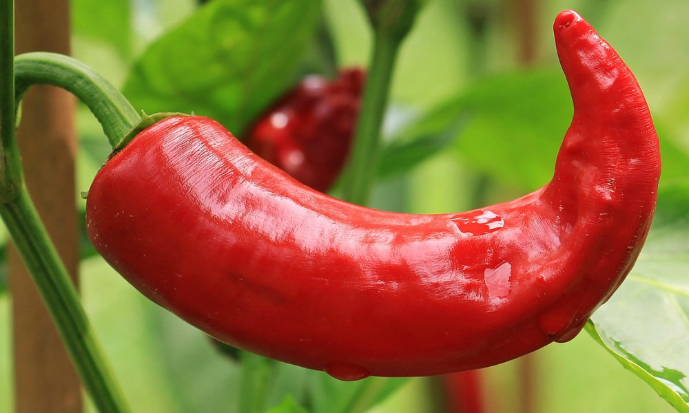 Big Spicy Pepper